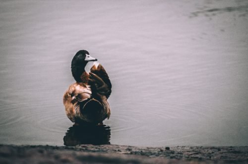 picture of a duck in water